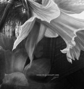 jonquille - étude en noir & blanc
